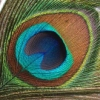 omly: peacock tail feather (peacock feather)