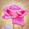 gooseberrywine: (rose)