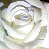 linden_grove: White Rose (Mme Typist)