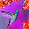 marinarusalka: (marinarusalka: purple hummingbird)