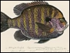 nightdog_barks: Graphic of a bluegill fish (Fish bluegill)