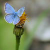 petzipellepingo: (blue butterfly by caladenia)