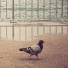 hickorysmoke: (pidgeon)