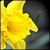 linaewen: (Daffodil by satismagic)