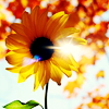 wonderfulchaos: (sunflower)
