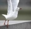 anoushe: (чайка)