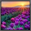 fyrdrakken: (Tulips)