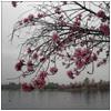 tea_and_toast: (Gloomy Sakura)