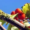codrette: (autumn rowan)