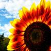 phaballa: sunflower (Default)