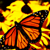 cindergraphics: (Butterfly)