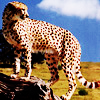 cindergraphics: (Cheetah)