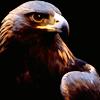 cindergraphics: (Golden Eagle)
