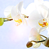 lyanalyst: (orchid)