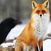aysel: (fox)
