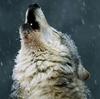 mystiri_1: (wolf howl)