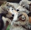 mystiri_1: (threesome, wolfpack)