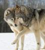 mystiri_1: (nuzzle, wolfpair)