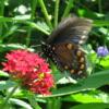 kareila: a butterfly on a flower (nature)