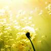 silverfoxflower