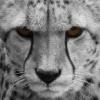 akai: White King Cheetah (White King Cheetah Avatar)