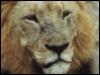 bobthebadger: (Lion)