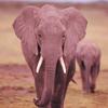 lucymorningstar: (Elephant)