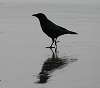 draganies: Photo I took of a crow on a beach while out with my family (Default)
