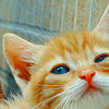 barbossa: (misc. // orange kitten)