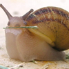 toneoftherats: snail holding grass in its mouth (snail with grass)