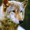 sheikah: (stock: wolf)