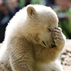 joyouslee: polar bear cub Knut facepalming (Default)