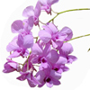 feather_ghyll: Lavendar flowers against white background (Beautiful flower (lavender))