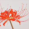 floriographies: lycoris radiata (default)