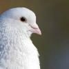 promnibusanctis: (pigeon: bright eyed)