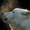 k_yamainu: (Polar wolf)