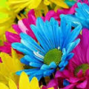 ceares: (colorful daisies)