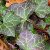 twistedchick: English ivy, wintered over.  My photo. (Default)