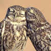 aaveplsgo: Two owls snuggling (owls)