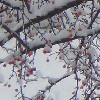galwithglasses: (Winter Crabapple)
