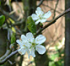 sillymouse: Plum Blossom (Default)