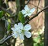 perennialanna: Plum Blossom (Default)