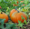 antisocialite_forum: A group of small round pumpkins in a very green pumpkin patch (Default)