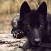 leloupnoir: (wolf - quiet)