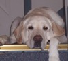 chanter_greenie: a cream-colored yellow Labrador lying at the top of a staircase, one paw draped over the top step (mellow yellow)