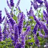 chanter_greenie: a lilac tree in bloom (Wisconsin spring: lilac season)