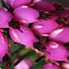 callunavulgaris: Close up of a spike of small purple flowers (Botanical, Calluna, Flower, Macro, Purple, Vulgaris)
