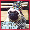 yahtzee: (pug party animal)