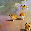 kerpingtack: corgis on the beach where the corgis are free (Default)