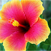 azurelunatic: A striking pink and yellow hibiscus blossom. (hibiscus)